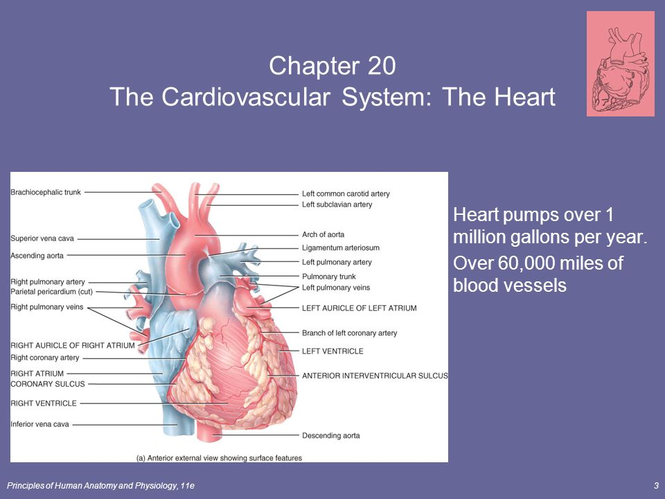Chapter 20 THE CARDIOVASCULAR SYSTEM: THE HEART - ppt download