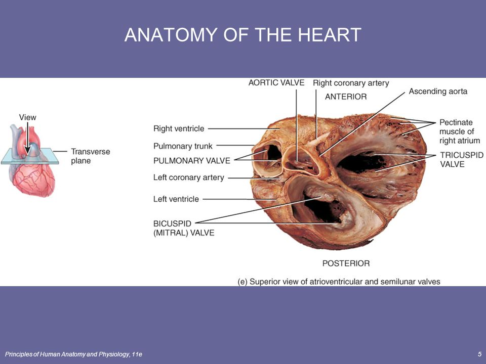 Modern Coronary Artery Anatomy And Physiology Gallery - Anatomy And ...