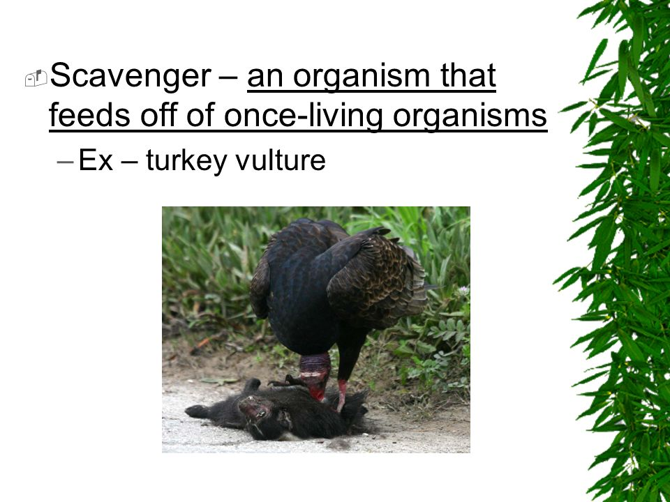 Scavenger – an organism that feeds off of once-living organisms