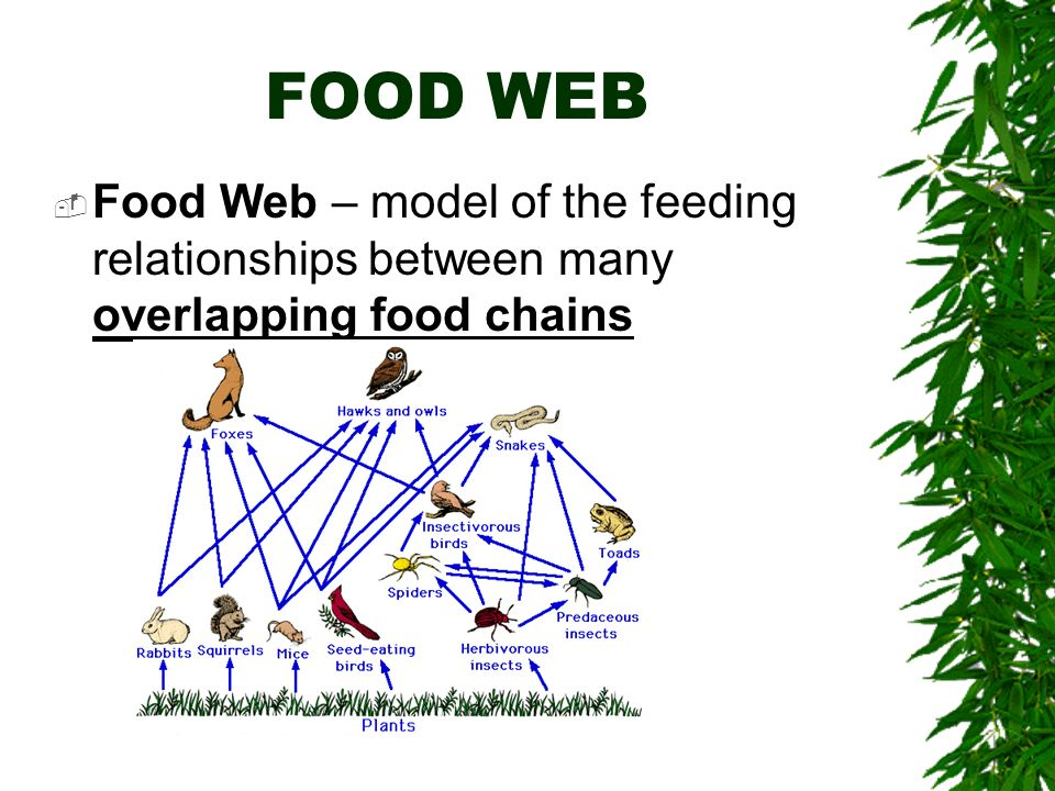 FOOD WEB Food Web – model of the feeding relationships between many overlapping food chains