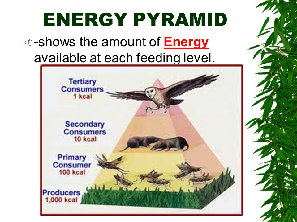 ENERGY PYRAMID -shows the amount of Energy available at each feeding level.