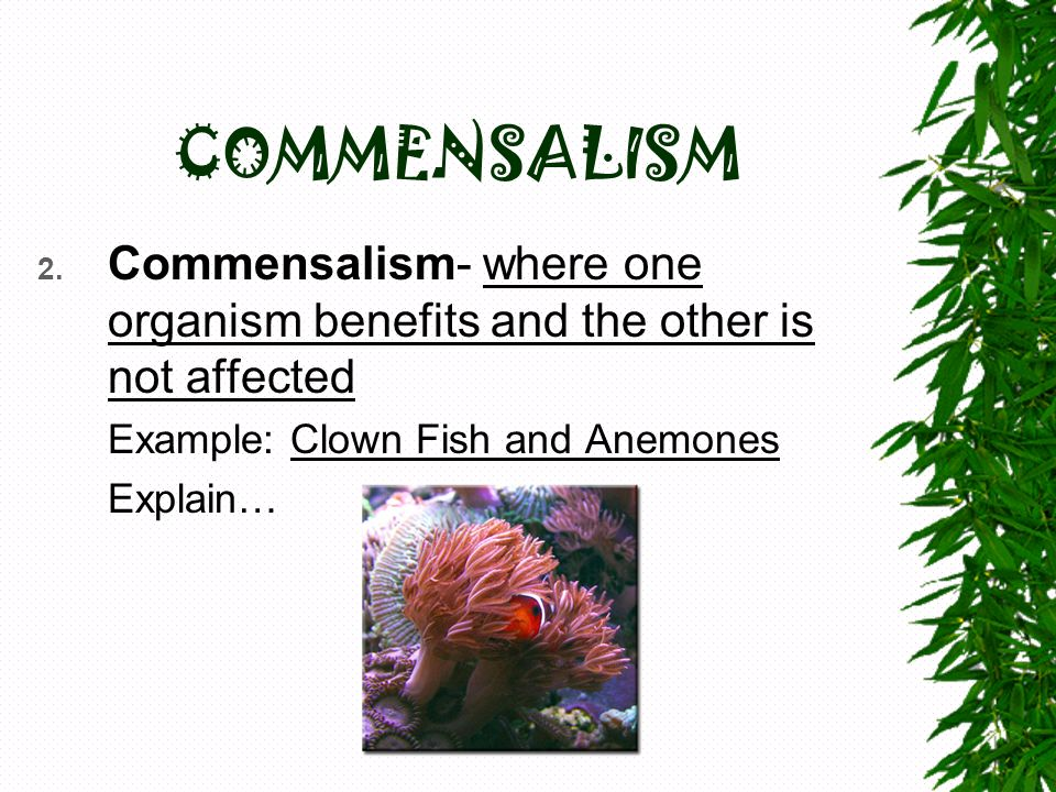 COMMENSALISM Commensalism- where one organism benefits and the other is not affected. Example: Clown Fish and Anemones.