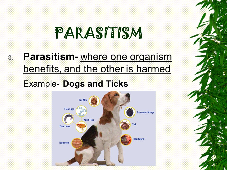 PARASITISM Parasitism- where one organism benefits, and the other is harmed Example- Dogs and Ticks