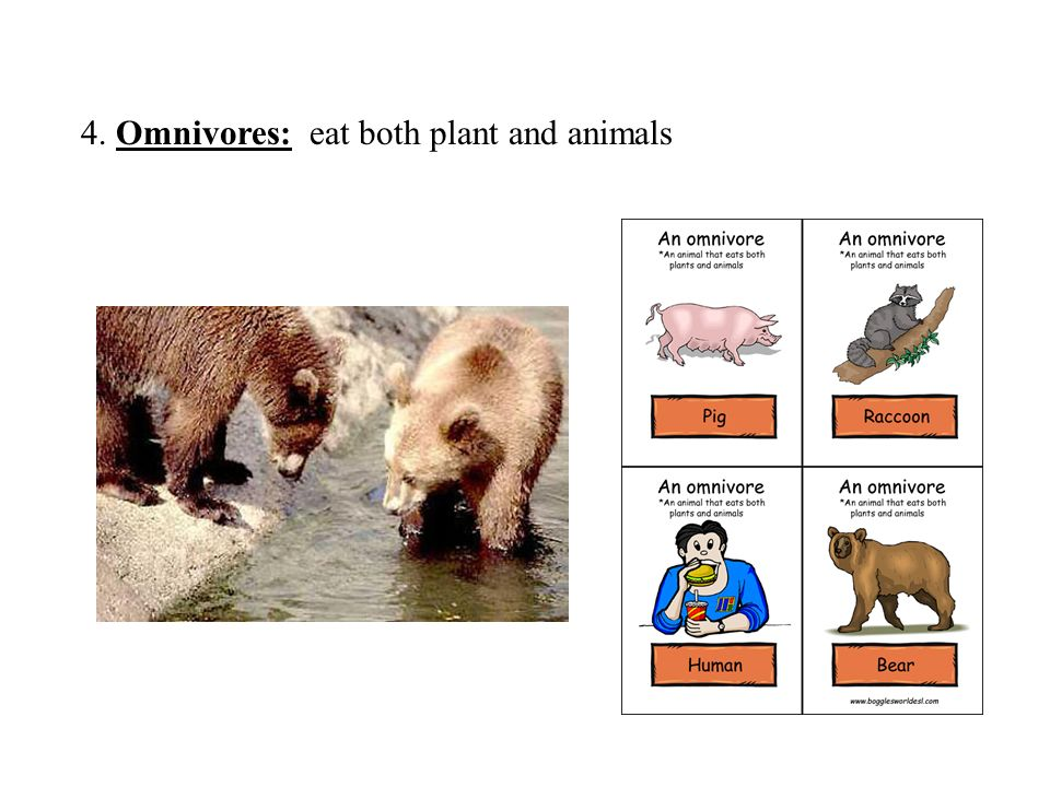 4. Omnivores: eat both plant and animals