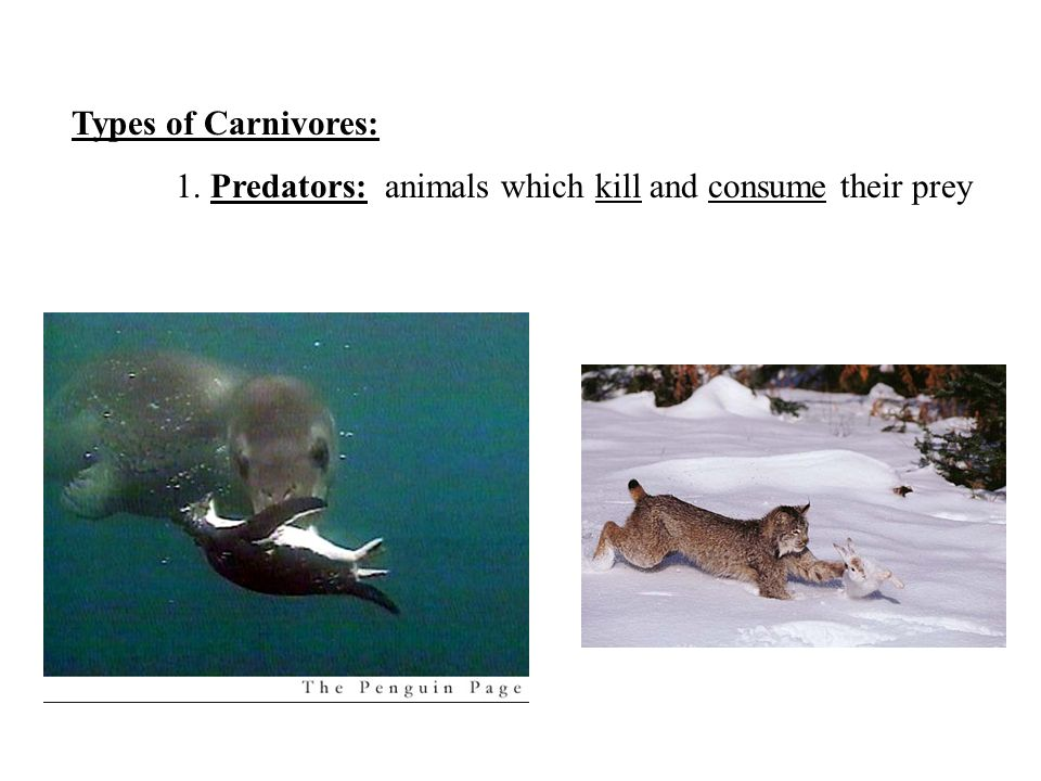 Types of Carnivores: 1. Predators: animals which kill and consume their prey