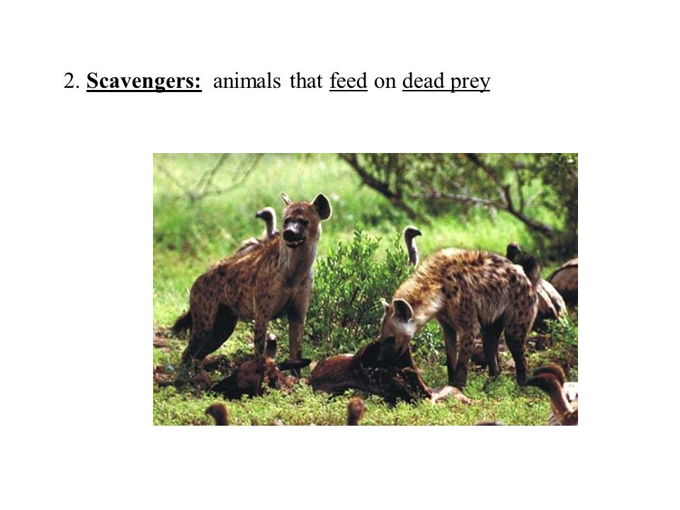 2. Scavengers: animals that feed on dead prey