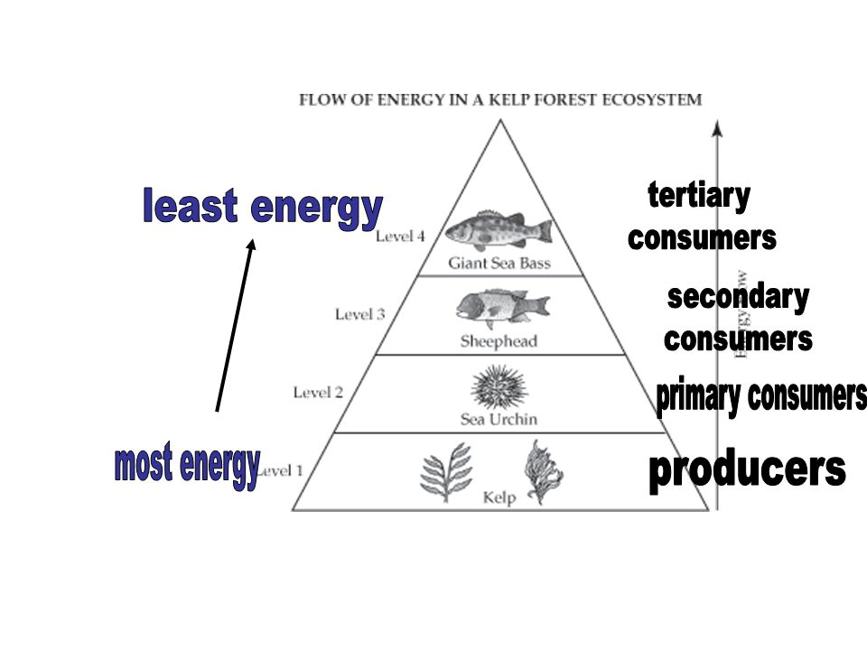 least energy most energy producers primary consumers tertiary