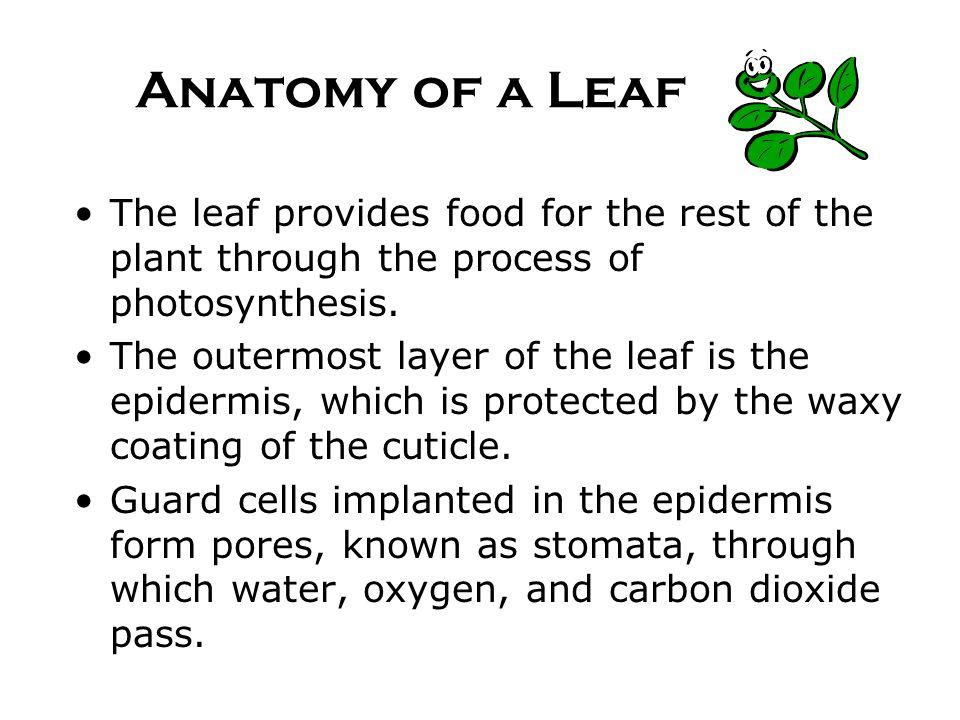 Fancy Cycas Leaf Anatomy Ideas - Anatomy And Physiology Biology ...