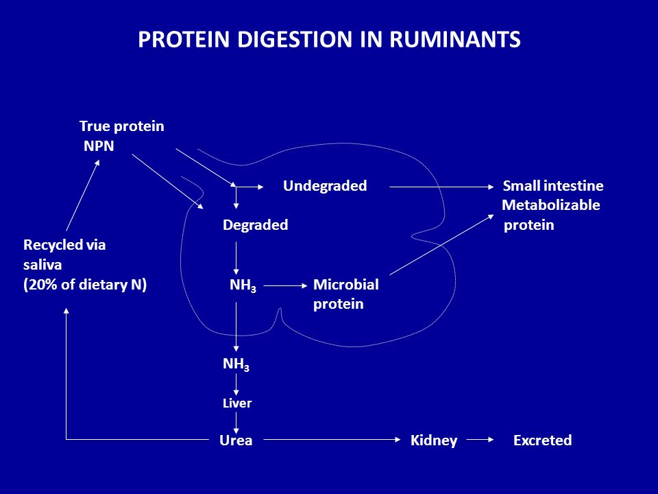 RUMINANT DIGESTIVE TRACT - ppt video online download