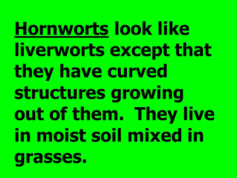 Hornworts look like liverworts except that they have curved structures growing out of them.