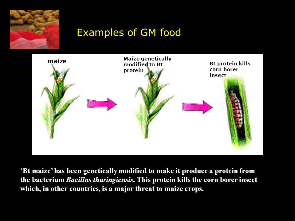 Examples of GM food maize. Maize genetically modified to Bt protein. Bt protein kills corn borer insect.
