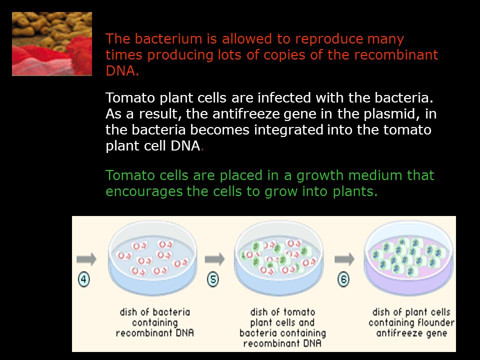 The bacterium is allowed to reproduce many times producing lots of copies of the recombinant DNA.