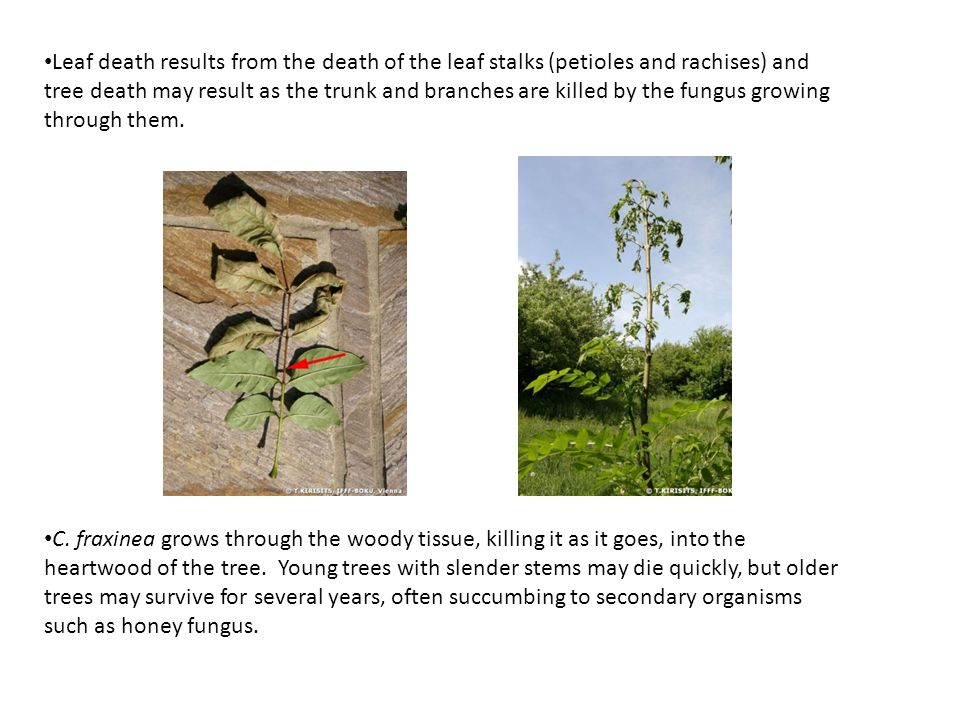 Leaf death results from the death of the leaf stalks (petioles and rachises) and tree death may result as the trunk and branches are killed by the fungus growing through them.