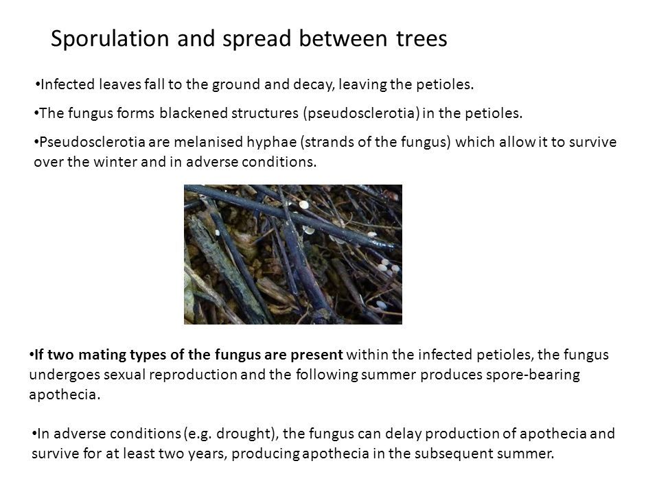 Sporulation and spread between trees