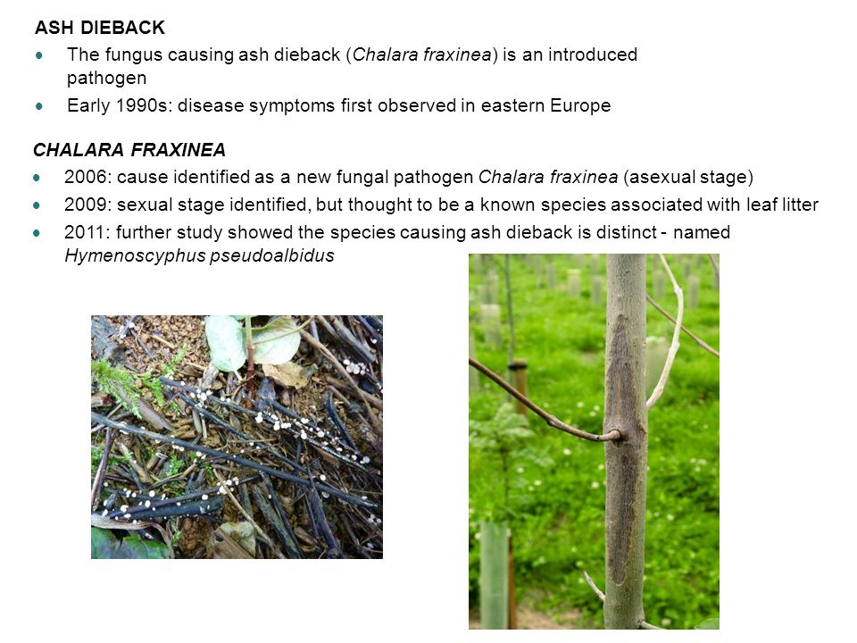 ASH DIEBACK The fungus causing ash dieback (Chalara fraxinea) is an introduced pathogen.