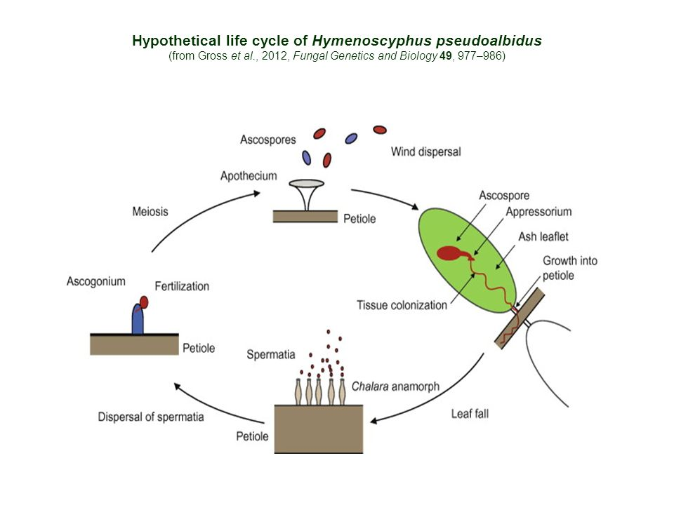 Hypothetical life cycle of Hymenoscyphus pseudoalbidus (from Gross et al., 2012, Fungal Genetics and Biology 49, 977–986)