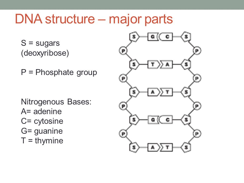 Dna diagram parts diy wiring diagrams agenda 3 26 warm up bill nye understanding dna ppt download rh slideplayer com dna replication diagram labeled dna molecule labeled diagram ccuart Choice Image