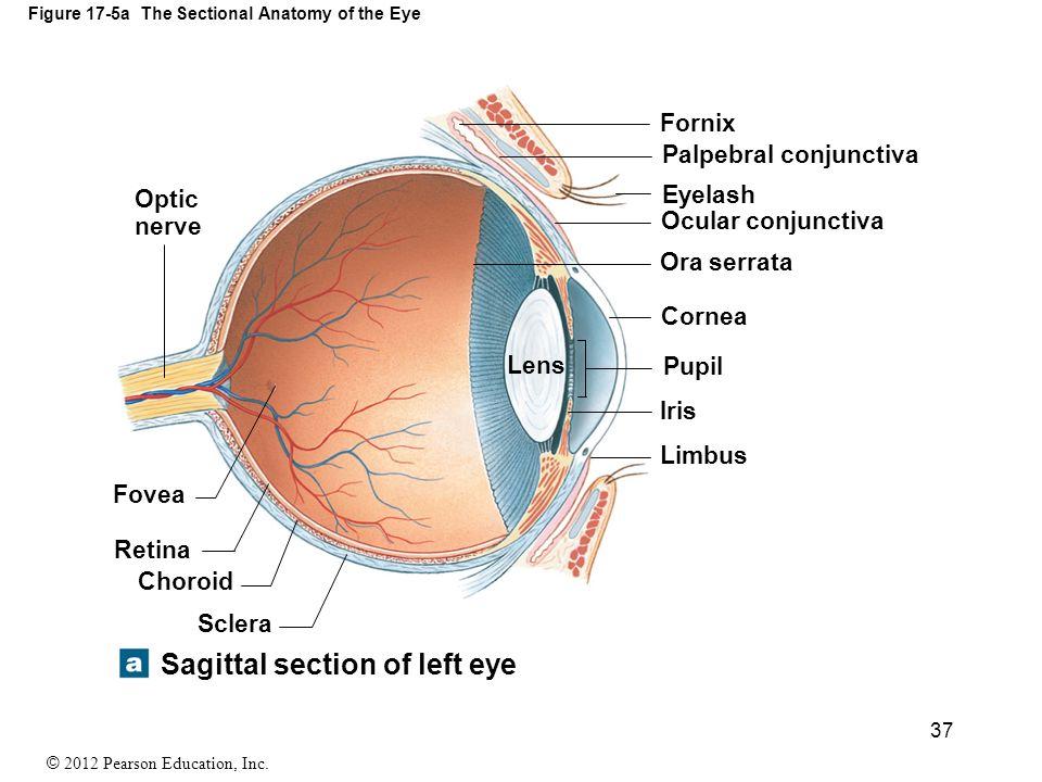 Ocular Fornix Diagram Product Wiring Diagrams