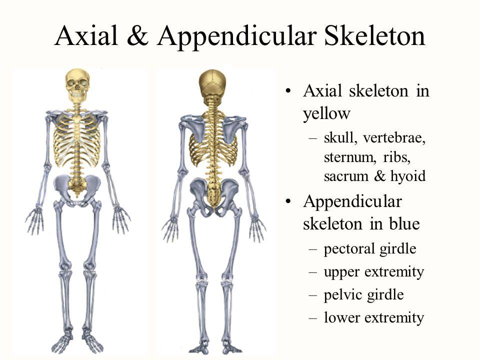 Chapter 9 The Skeletal System Ppt Download