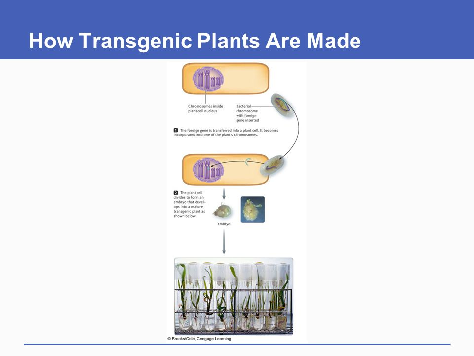 How Transgenic Plants Are Made