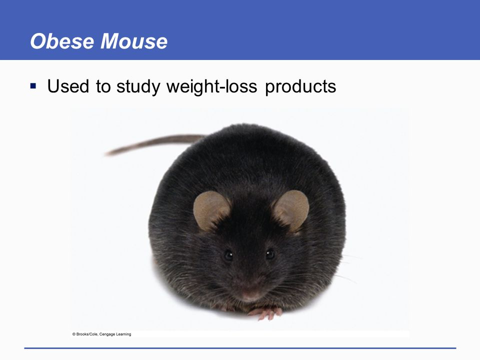 Obese Mouse Used to study weight-loss products