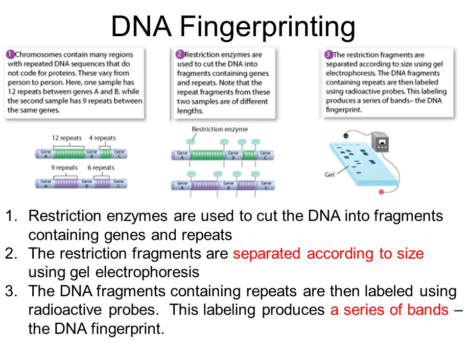 DNA Fingerprinting Restriction enzymes are used to cut the DNA into fragments containing genes and repeats.