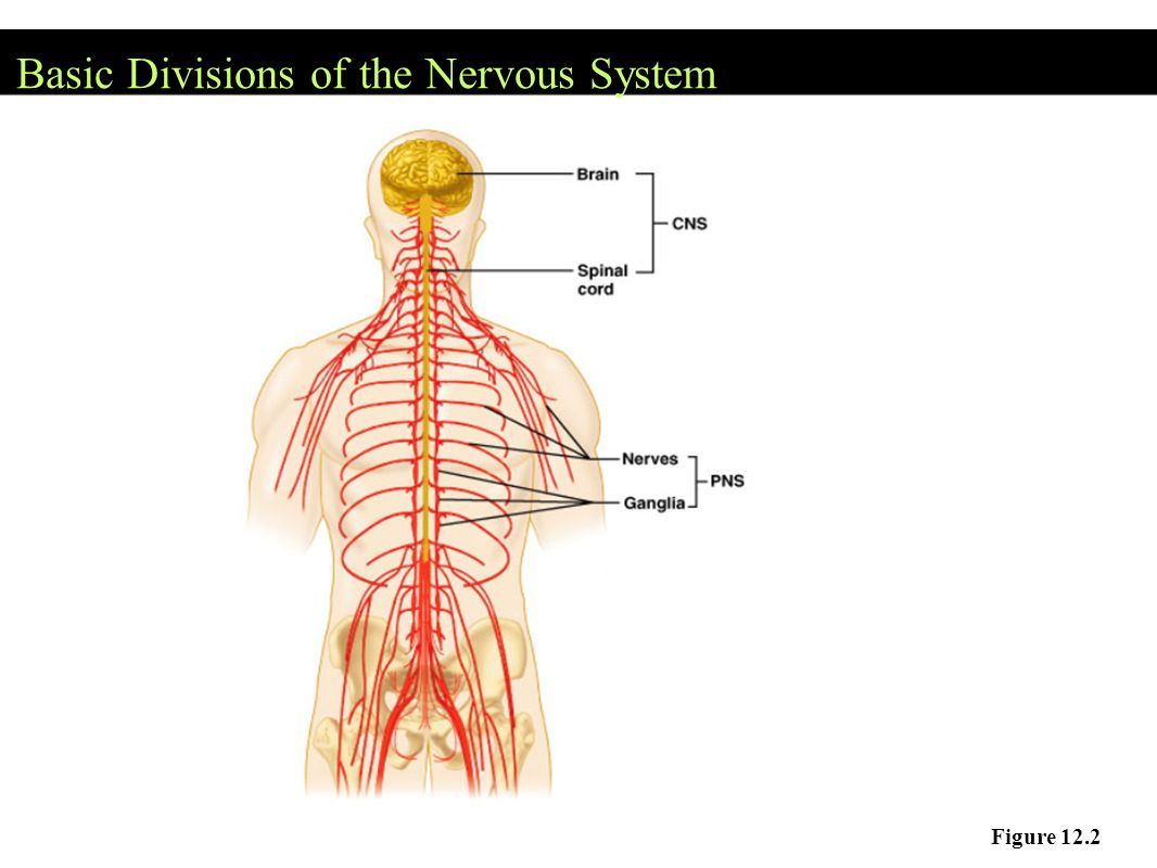 Central Nervous System Cns Brain And Spinal Cord Ppt Video