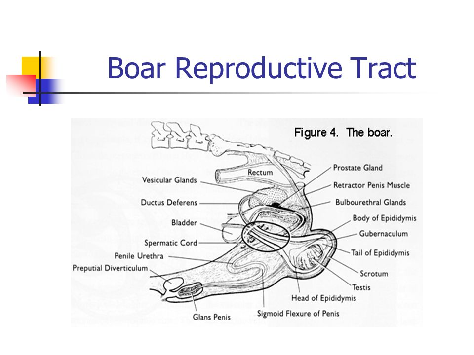 Agr veterinary science ppt video online download 8 boar reproductive tract ccuart Choice Image
