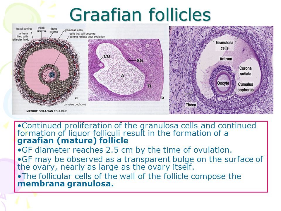 Histology of Female Reproductive System - ppt video online ...  Histology of Fe...