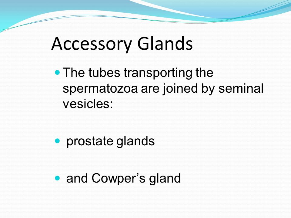 Accessory Glands The tubes transporting the spermatozoa are joined by seminal vesicles: prostate glands.