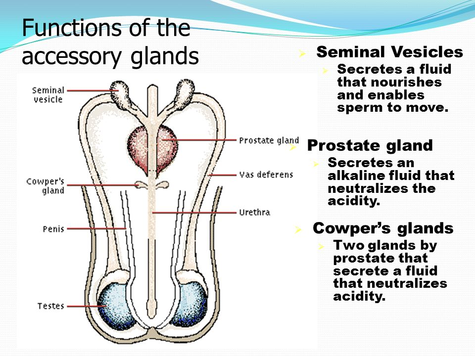 Functions of the accessory glands