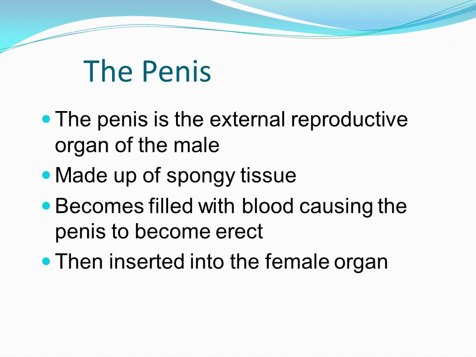The Penis The penis is the external reproductive organ of the male