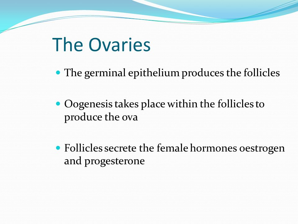 The Ovaries The germinal epithelium produces the follicles