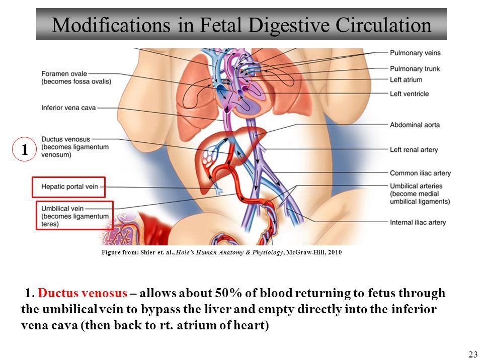 Anatomy Of A Fetus Choice Image - human body anatomy