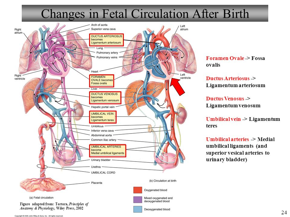 Anatomy And Physiology Pregnancy Growth And Development Ppt Download