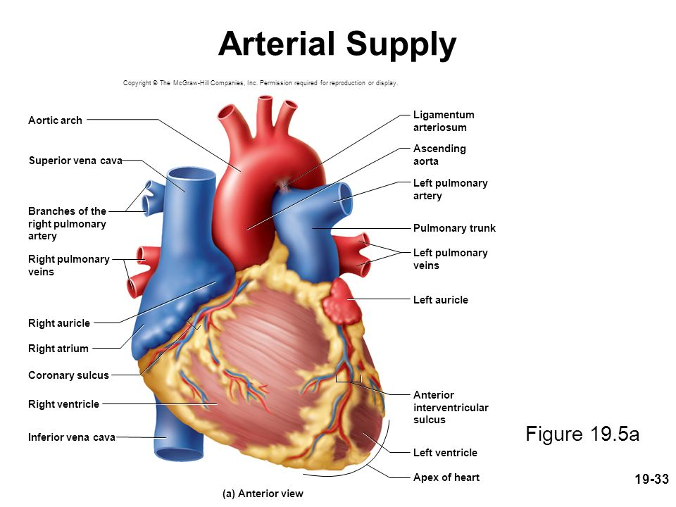 circulatory system pdf mcgraw hill