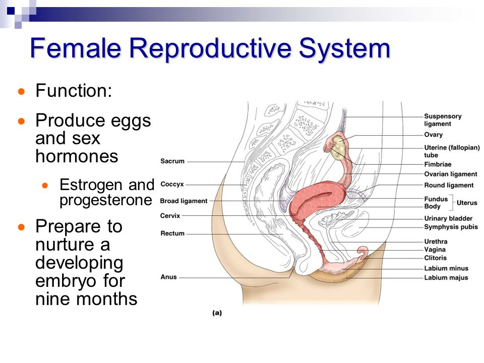 Chapter 16 The Female Reproductive System Ppt Video Online Download