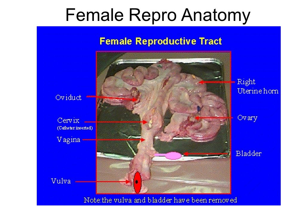 Female Reproductive System Ppt Video Online Download