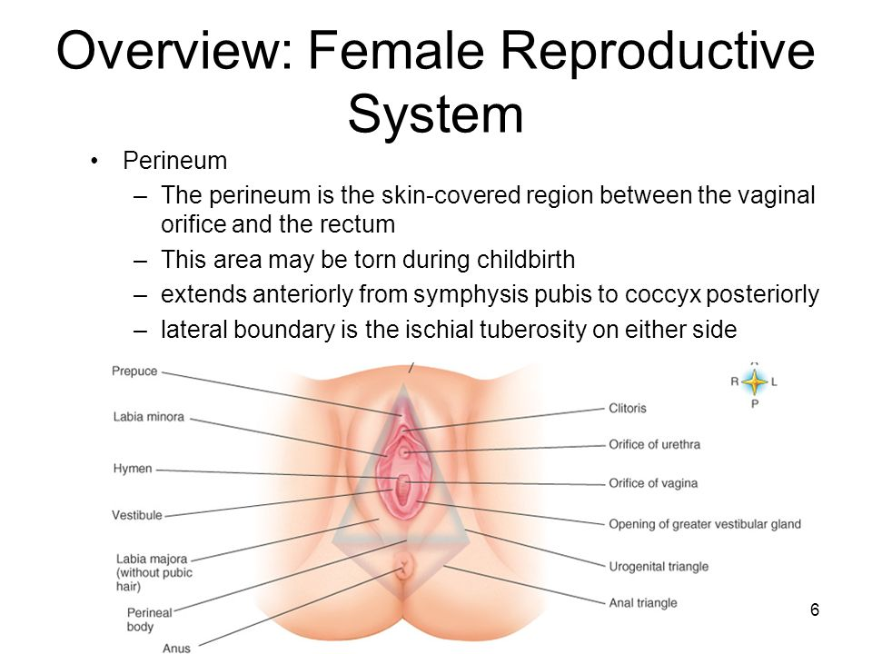 Chapter 32 Female Reproductive System - ppt downloadSlidePlayer
