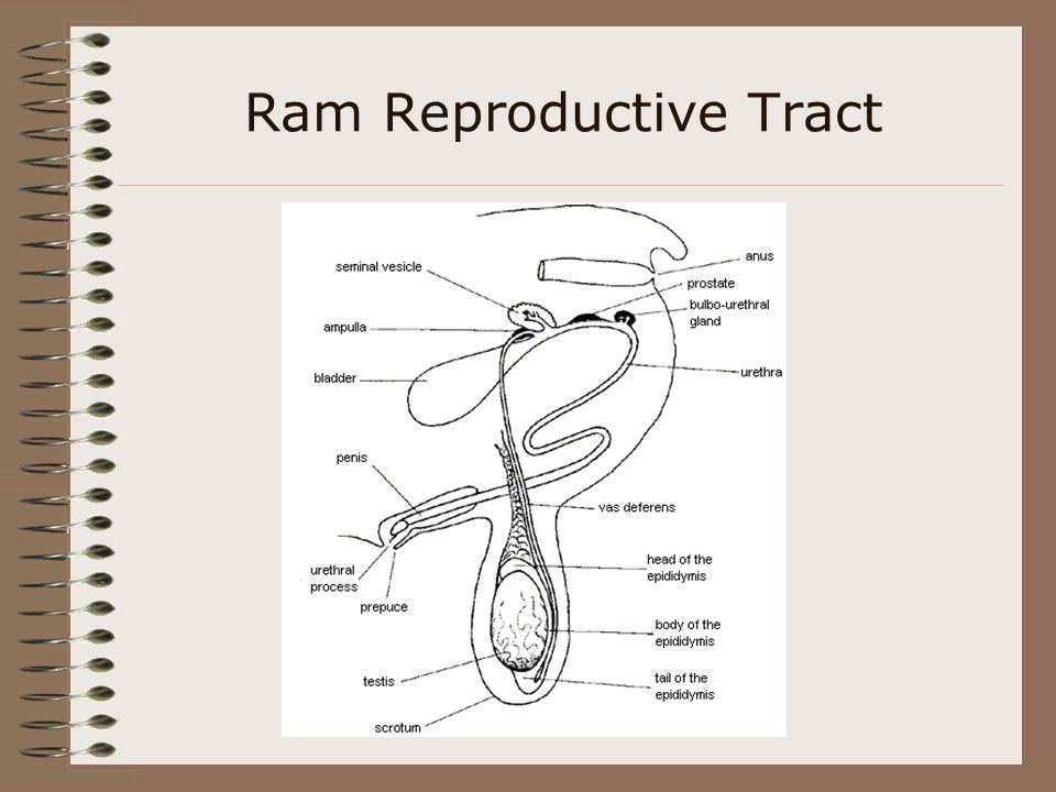 Reproductive structures and cycles in livestock ppt video online 50 ram reproductive tract ccuart Gallery