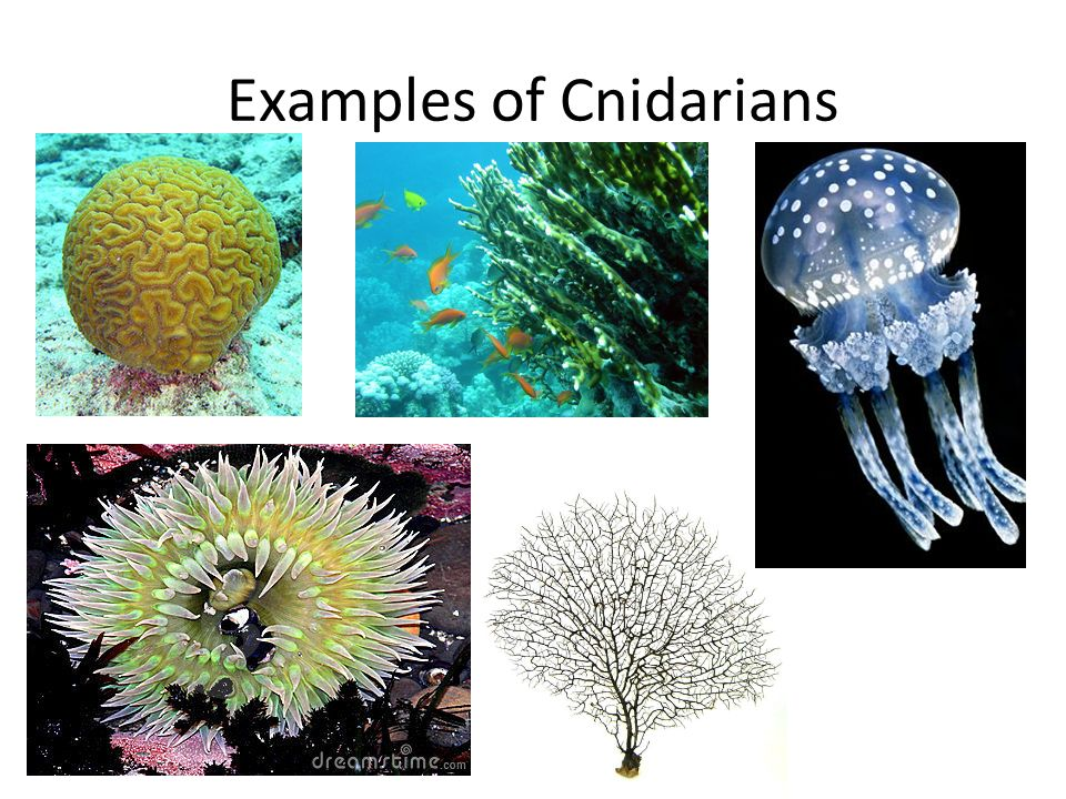 Examples Of Cnidarians Images Example Cover Letter For Resume