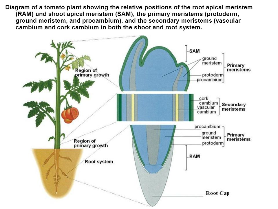 Meristem plant root system diagram information of wiring diagram three tissue systems make up the plant body ppt video online download rh slideplayer com parenchyma in plants function parts of a plant diagram ccuart Gallery