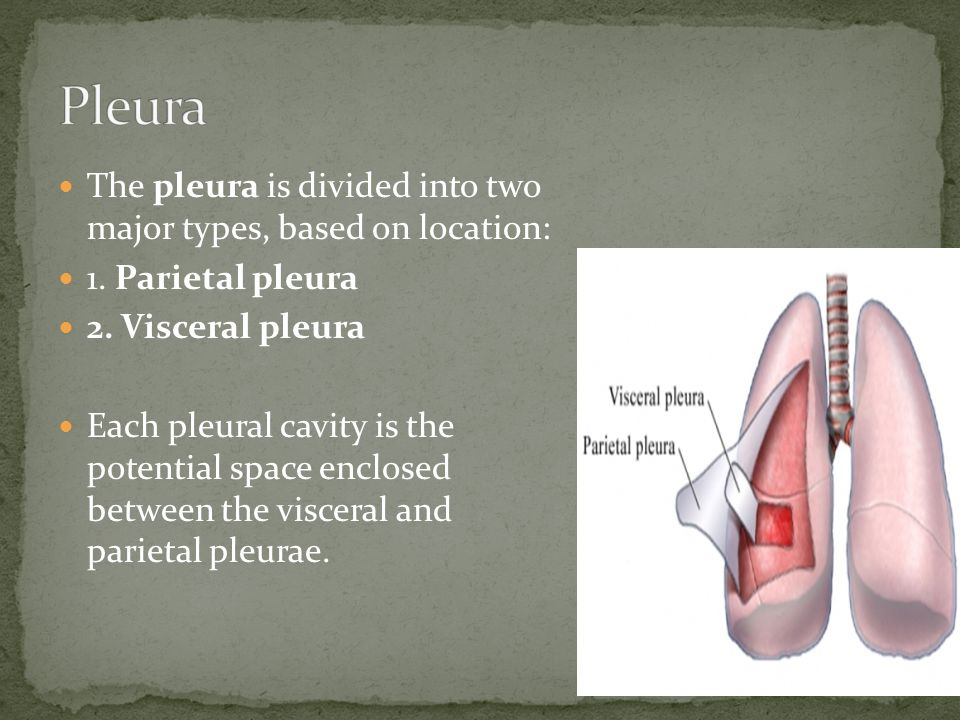Pleura The pleura is divided into two major types, based on location: