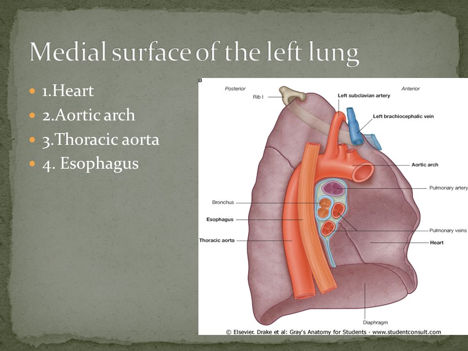 Medial surface of the left lung