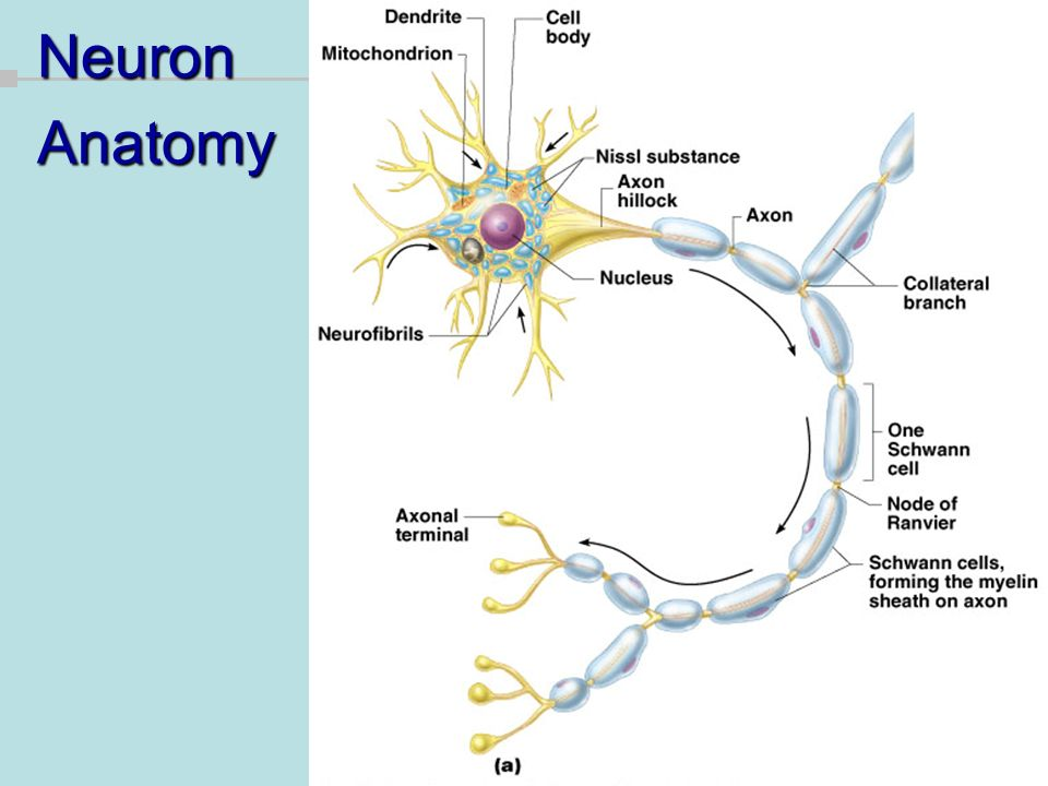 Fundamentals Of The Nervous System And Nervous Tissue Ppt Video