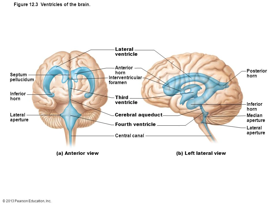 12 The Central Nervous System Part A Ppt Download