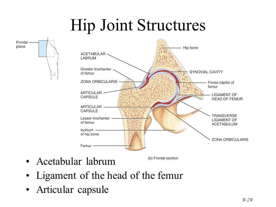 Modern Hip Structure Picture Collection Anatomy And Physiology
