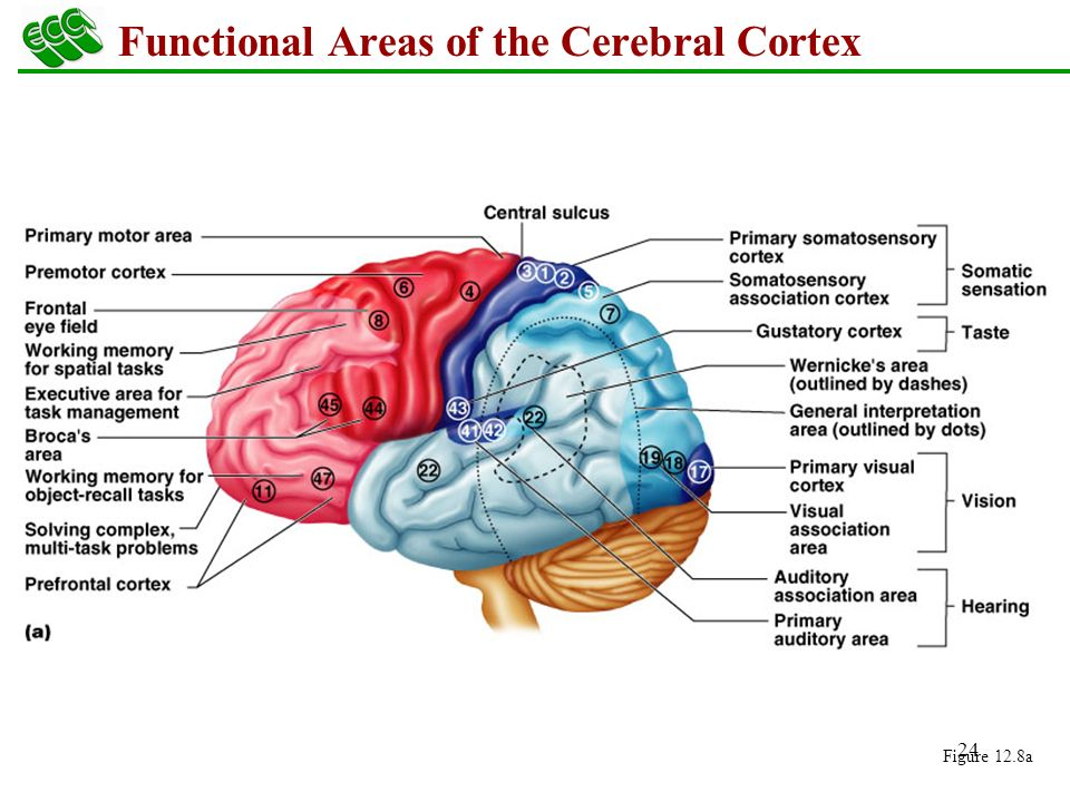 The Central Nervous System Brain Ppt Download