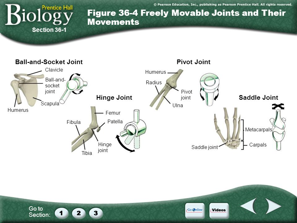 Figure 36-4 Freely Movable Joints and Their Movements