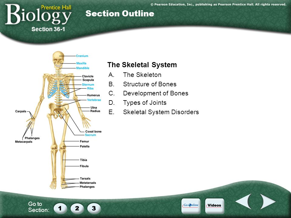 Section Outline 36–1 The Skeletal System A. The Skeleton